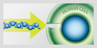 linear aligned molecules entering a human cell through aquapourins